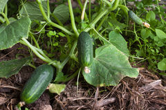 Growing cucumbers in the hothouse Royalty Free Stock Photography