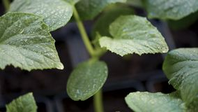 Growing cucumbers seedlings. Small cucumber green plants - modern vegetable eco-production in a greenhouse stock video footage