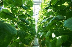 Growing cucumbers. Two rows of growing cucumber plants with aisle between them in hothouse Royalty Free Stock Photography