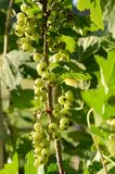 Growing currant stock images
