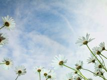Growing daisies Royalty Free Stock Images