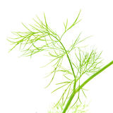 Growing dill Stock Photo
