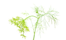 Growing dill Royalty Free Stock Image