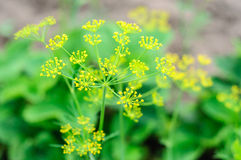 Growing dill with flower Stock Photography