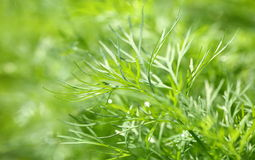 Growing dill Royalty Free Stock Photos
