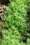 Growing dill. Stock Photography
