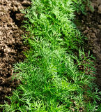 Growing dill. Royalty Free Stock Photo