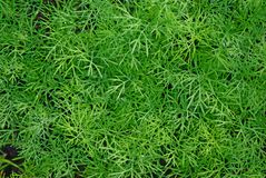 Growing dill natural background. Fresh green sprouts of dill in summer close-up Royalty Free Stock Photography