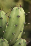 Growing dry prickles cactus closeup Royalty Free Stock Photography