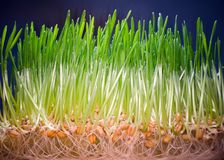 Growing edible grass at home. Green sprouts coming out of seeds in white pot, bio food, healthy eating lifestyle royalty free stock photos