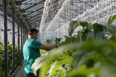Growing eggplants in a greenhouse. St. Petersburg, Russia - March 31, 2017: Worker in the greenhouse of agricultural company Vyborzhets. The company supply fresh Stock Photography