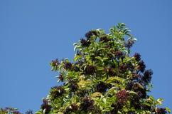Growing elderberries in top of a bush Stock Photos