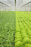 Growing endive and salad plants Stock Image