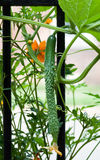 Growing English Cucumber Stock Image