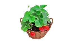 Growing Everbearing Strawberries in the Home Garden Stock Images