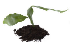 Growing evergreen plant in soil. Growing plant in soil insolated on the white background Royalty Free Stock Image