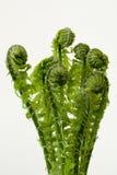 Growing fern Royalty Free Stock Photos