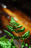 A Growing Fern. A fern growing along the bank of river Stock Image