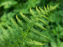 Growing Fern Stock Photo