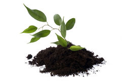 Growing ficus in soil stock images