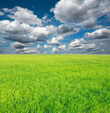 Growing field of green grass with blue sky Royalty Free Stock Image