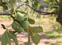 Growing fig fruits on branches of a fig tree. Royalty Free Stock Image