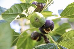 Growing fig fruits on branches of a fig tree. Royalty Free Stock Photos