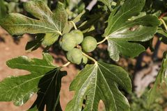Growing fig fruits on branches of a fig tree. Stock Photos