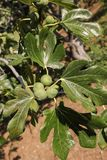 Growing fig fruits on branches of a fig tree. Stock Images