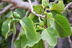 Growing Figs. Unripe figs growing on the tree royalty free stock photos
