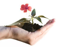 Growing flower. Hand holding a growing flower isolated on white Stock Photography