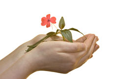 Growing flower. Hands holding a growing flower isolated on white Stock Photo