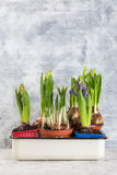 Growing flower bulb in pot on white backgroun Royalty Free Stock Photos