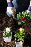 Growing flower in the garden. A person gardening on flower bed Stock Photography