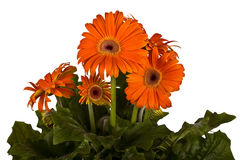 Growing flowers, gerbera, Royalty Free Stock Image