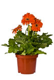 Growing flowers, gerbera, Stock Photo