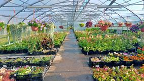 Growing flowers and green plants in a greenhouse. Production and cultivation of flowers. Young planting in a greenhouse stock photography