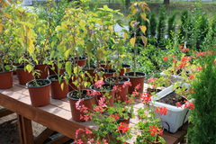 Growing flowers in pots. Growing houseplants in the greenhouse for sale Royalty Free Stock Images