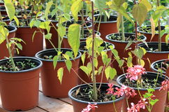 Growing flowers in pots. Growing houseplants in the greenhouse for sale Royalty Free Stock Photo