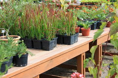 Growing flowers in pots. Growing houseplants in the greenhouse for sale Royalty Free Stock Photography