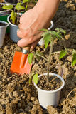 Growing food - planting seedlings Royalty Free Stock Photos