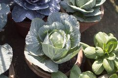 Fresh cabbage plant Stock Images