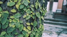 Fresh Green Ivy On Tree royalty free stock photos