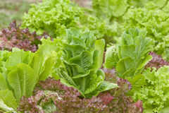 Growing fresh organic lettuce in a garden Royalty Free Stock Photography