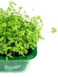 Growing Fresh Parsley Stock Photo