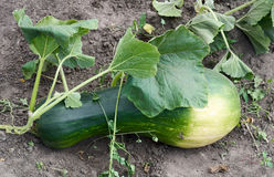 Growing Fresh squash vegetable in garden Royalty Free Stock Images