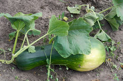 Growing Fresh squash vegetable in garden Stock Photo