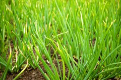 Growing on the garden greens onions. royalty free stock photos