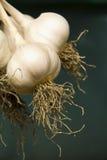 Growing garlic, harvest. Fresh garlic ( Allium sativum ) isolated against dark background, vegetables Royalty Free Stock Photos