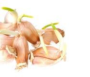 Growing garlic Stock Image